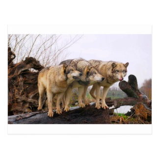Angry Wolf Pack Postcard