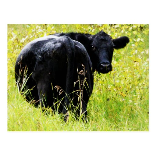 Angus Steer in Tall Yellow Grass Postcard