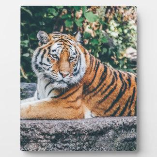 Animal Big Cat Safari Tiger Wild Cat Wildlife Zoo Plaque