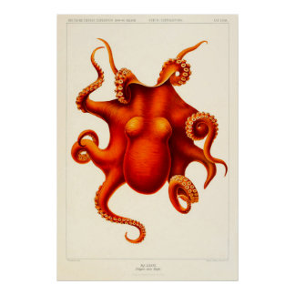 Animal Curiosity Octopus Die Cephalopod 1915 Poster