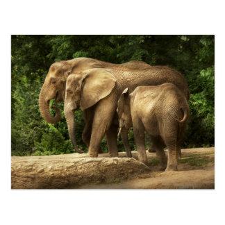 Animal - Elephant - Tight knit family Postcard