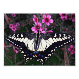 Anise Swallowtail 8x11 Archival Matte Poster Print