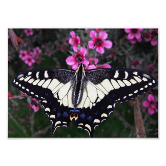 Anise Swallowtail 8x11 Canvas Poster Print
