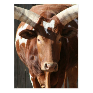 Ankole-Watusi Steer With Huge Horns Postcard