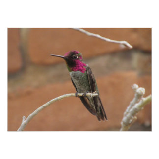 Anna s Hummingbird Poster