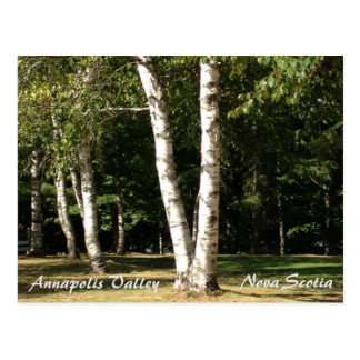 Annapolis Valley, Nova Scotia, birch trees Postcard
