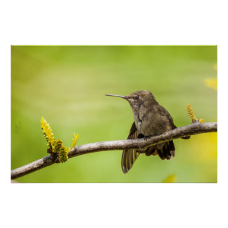 Anna's Hummingbird at rest Poster