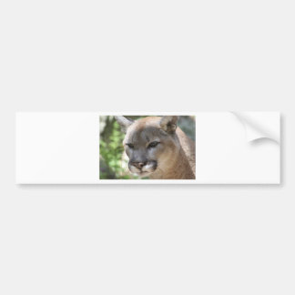 Annoyed Mountain Lion Bumper Sticker