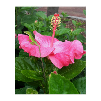 Anole Lizard On Pink Hibiscus Photograph Acrylic Wall Art