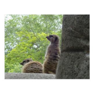 Another Meerkat Postcard