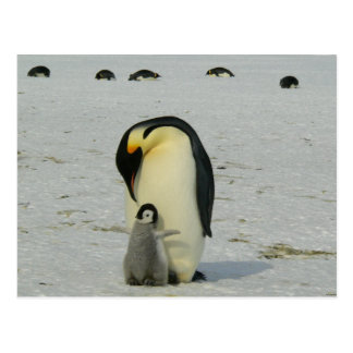 Antarctic Penguins Chick Snow Beach Birds Ocean Postcard