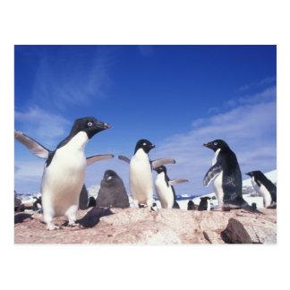 Antarctica, Adelie Penguin Pygoscelis Postcard