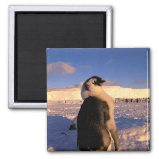 Antarctica, Australian Antarctic Territory, 2 Square Magnet