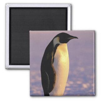 Antarctica, Australian Antarctic Territory, 4 Square Magnet