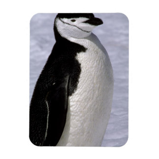 Antarctica. Chinstrap penguin 2 Rectangular Photo Magnet