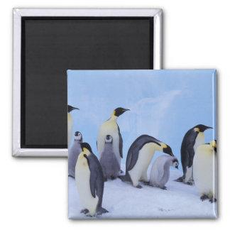 Antarctica, Emporer Penguin ((Aptenodytes Magnet