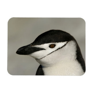 Antarctica, Half Moon Island. Close-up of adult Rectangular Photo Magnet