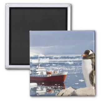 Antarctica, Neko Cove (Harbour). Gentoo penguin Square Magnet