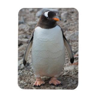 Antarctica. Neko Harbor. Gentoo Penguin 2 Rectangular Photo Magnet