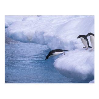 Antarctica, Paulet Island. Adelie penguins dive Postcard