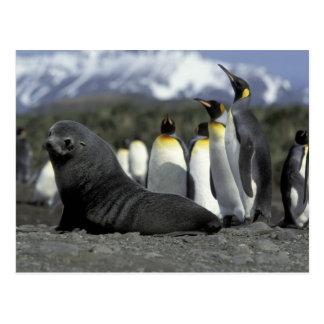 Antarctica, South Georgia Island. Antarctic fur Postcard