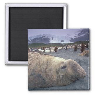 Antarctica, South Georgia Island, Elephant seal Fridge Magnets