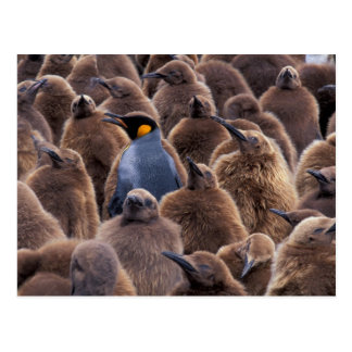 Antarctica, South Georgia Island, King penguins Postcard