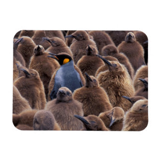 Antarctica, South Georgia Island, King penguins Rectangular Photo Magnet