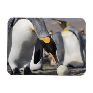 Antarctica, South Georgia Island (UK), King 10 Rectangular Photo Magnet