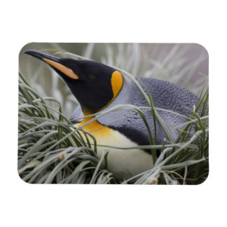 Antarctica, South Georgia Island (UK), King 11 Rectangular Photo Magnet