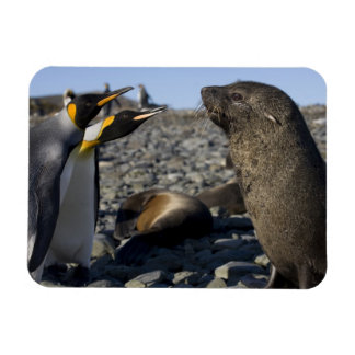 Antarctica, South Georgia Island (UK), King 15 Rectangular Photo Magnet