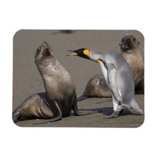 Antarctica, South Georgia Island (UK), King 3 Magnet