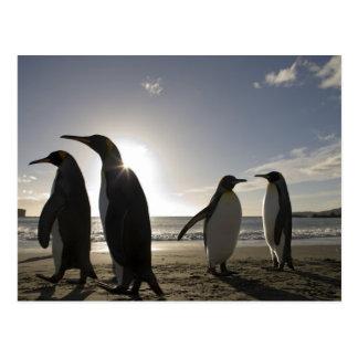 Antarctica, South Georgia Island UK), King 7 Postcard