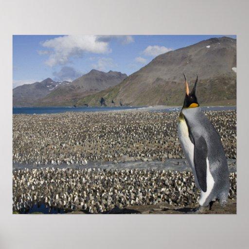 Antarctica, South Georgia Island (UK), King 8 Posters