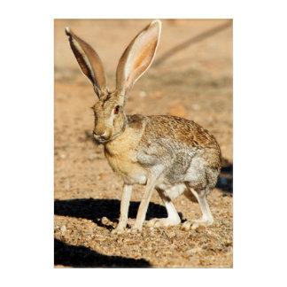 Antelope jackrabbit portrait, Arizona Acrylic Print