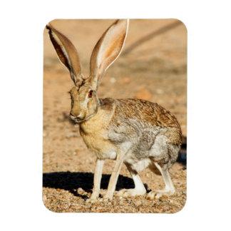 Antelope jackrabbit portrait, Arizona Magnet