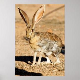 Antelope jackrabbit portrait, Arizona Poster