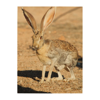Antelope jackrabbit portrait, Arizona Wood Print
