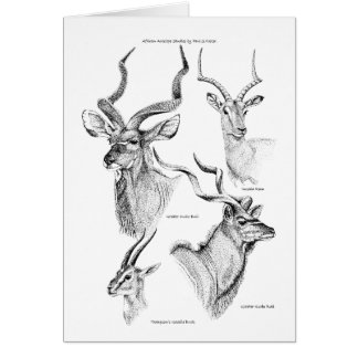Antelope study Birthday Card