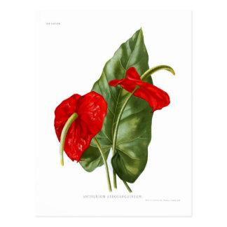 Anthurium atrosanguineum postcard