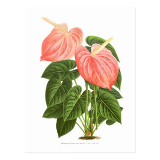 Anthurium Postcard
