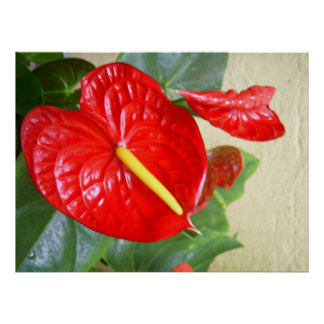 Anthuriums Poster