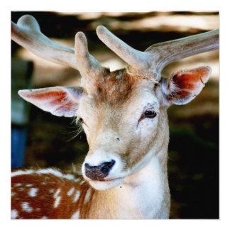 Antigua Fallow Deer Custom Announcement
