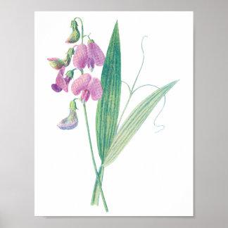 Antique Botanica print; Heavenly Pea Poster