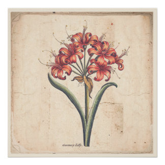 Antique Botanical Print Poster Red Guernsey Lily