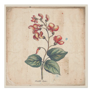 Antique Botanical Print Poster Scarlet Runner Bean