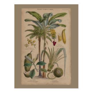 Antique Botanical Print - Tropical Fruit Postcard