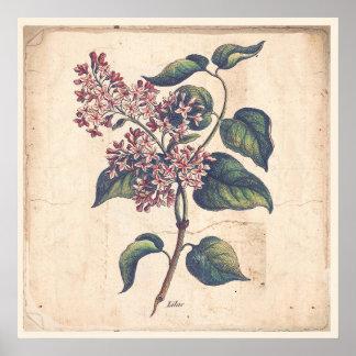 Antique Botanicals Print Poster Lilac Flowers