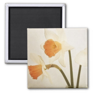 Antique Daffodils Square Magnet