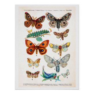 Antique plate, butterflies of Europe: plate 13 Poster